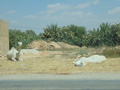 White camels on the road