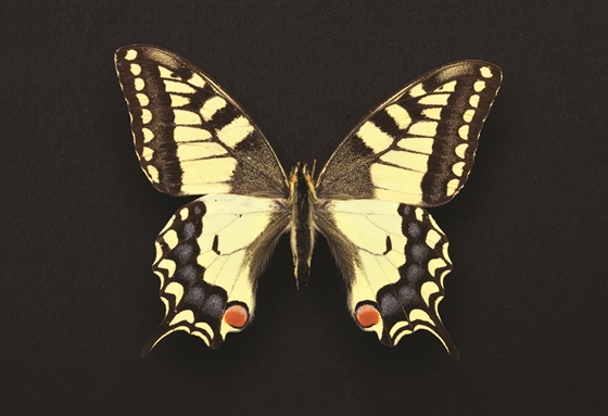 Old World Swallowtail [Papilio machaon]
